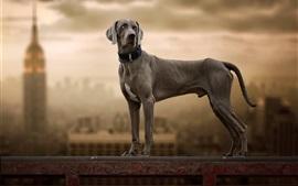 O cachorro Weimaraner olha para trás