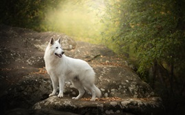 White Swiss shepherd dog look back