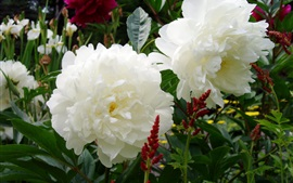 Preview wallpaper White peonies flowers, garden