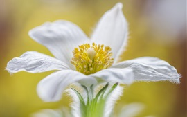 Preview wallpaper White petals flower macro photography, pistil