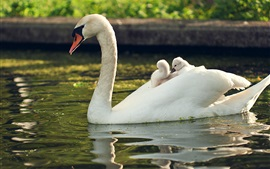 Preview wallpaper White swan, family, pond, water