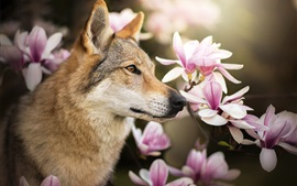 Preview wallpaper Wolf dog and magnolia flowers