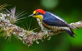 Preview wallpaper Woodpecker, colorful feather, tree branch