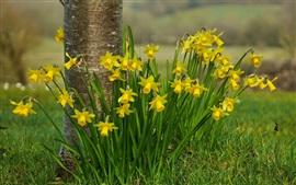 미리보기 배경 화면 노란 수 선화 꽃, 나무, 잔디