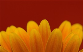 Pétalas de flores amarelas close-up, fundo vermelho