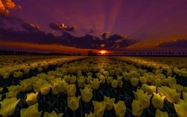 Yellow tulips field at night