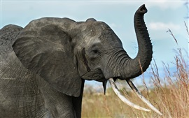 Africano, elefante, presas