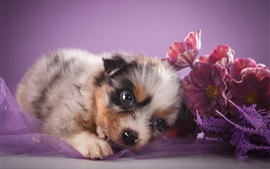 Preview wallpaper Australian shepherd, cute puppy, flowers