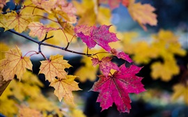 Preview wallpaper Autumn, purple and yellow maple leaves