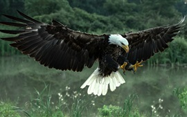 Preview wallpaper Bald eagle flight, wings, feathers, grass