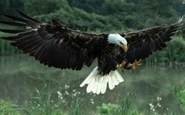 Voo de águia-calva, asas, penas, capim