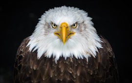 Preview wallpaper Bald eagle front view, beak, eyes