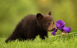 Preview wallpaper Bear cub and iris flower