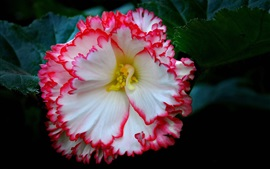 Preview wallpaper Beautiful begonia flower close-up, white pink petals