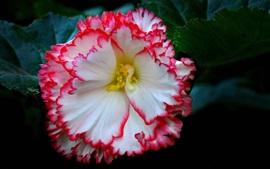 Hermoso primer plano de flor de begonia, pétalos de rosa blanco