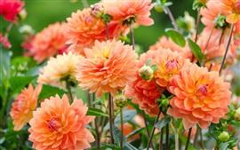 미리보기 배경 화면 아름 다운 오렌지 달리아, 물 상품, 꿀벌