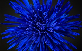 Crisântemo azul, pétalas