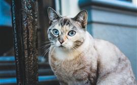 Mirada de gato de ojos azules, mascota linda
