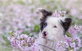Perro de ojos azules, flores rosadas, primavera
