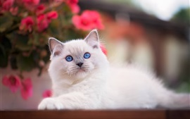 Preview wallpaper Blue eyes white cat