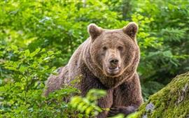 Vista frontal del oso pardo, arbustos