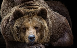 Preview wallpaper Brown bear look at you, face, eyes, portrait