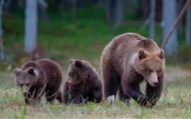 Preview wallpaper Brown bears, family, grass, forest