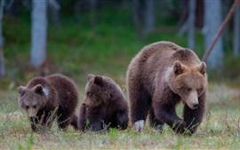 Ursos marrons, família, grama, floresta