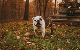 Preview wallpaper Bulldog play ball in the forest, autumn