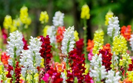 Preview wallpaper Colorful snapdragons flowers