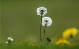 Preview wallpaper Dandelions, spring, green background