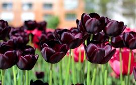 미리보기 배경 화면 어두운 튤립, 자주색 꽃