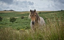 Preview wallpaper Dartmoor pony, grass, wind