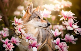 Vorschau des Hintergrundbilder Hund und rosa Magnolie Blumen