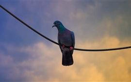 Preview wallpaper Dove standing on wire