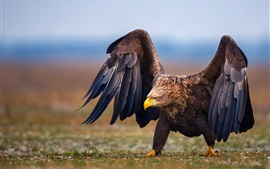 Eagle walk on ground, wings