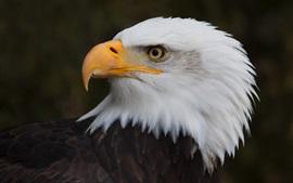 Vorschau des Hintergrundbilder Adler, Kopf der weißen Feder