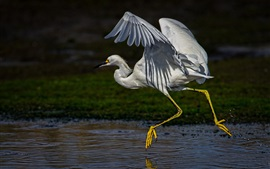 Preview wallpaper Egret run, wings, neck