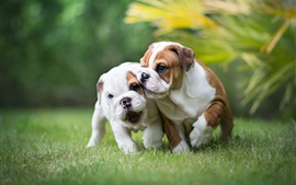 English bulldog, two puppies