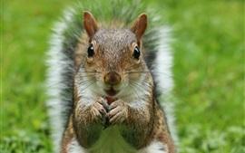 Visão frontal do esquilo fluffy