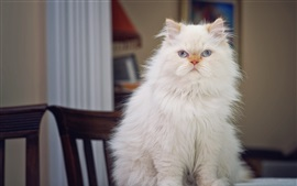 Preview wallpaper Fluffy white cat front view
