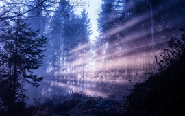 Forest, trees, sun rays, dawn