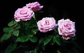 Rosas rosas frescas, gotas de água, folhas