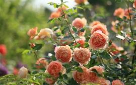 Jardim, flores rosa-de-rosa
