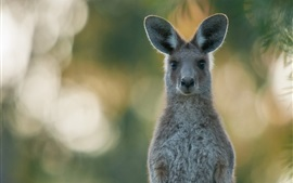 Preview wallpaper Gray kangaroo