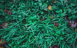Hierba verde, plantas, gotas de agua