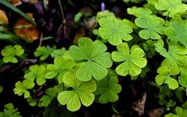 Зеленые листья, клевер, растение