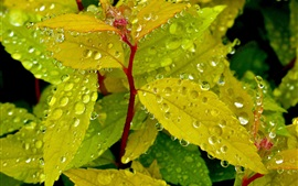 Green leaves, water drops, plants