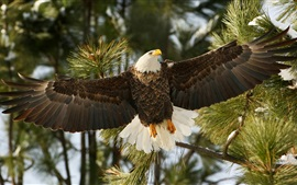 Preview wallpaper Hawk, bald eagle, wings, flight, pine tree