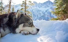 Husky cão, cabeça, inverno, neve
